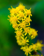 Wildflower Photography Posters - Jasper - Canada Goldenrod Wildflower Poster by Terry Elniski