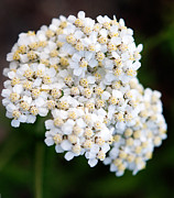Wildflower Photography Posters - Jasper - Common Yarrow Wildflower Poster by Terry Elniski