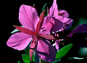 Dwarf Framed Prints - Jasper - Dwarf Fireweed 1 Framed Print by Terry Elniski
