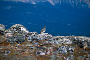 Ptarmigan Prints - Jasper - White-tailed Ptarmigan Print by Terry Elniski