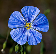 Banff National Park Photos - Jasper - Wild Blue Flax by Terry Elniski