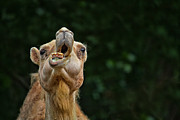 Camel Photos - Jaw Dropping by Karol  Livote
