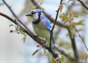 Bluejay Metal Prints - Jay In June Metal Print by Deborah Benoit