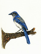 Scrub Jay Paintings - Jay by Shari Nees