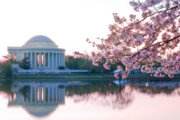 Cherry Blossoms Photo Prints - Jefferson at sunrise Print by Don Lovett