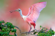 Spoonbill Framed Prints - Jefferson Island Roseate Spoonbill Framed Print by Bonnie Barry