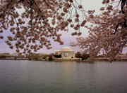 Cherry Blossom Prints - Jefferson Memorial Print by Joyce  Kimble Smith