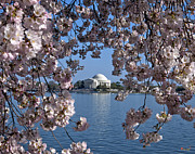Cherry Blossoms Photo Prints - Jefferson Memorial on the Tidal Basin DS051 Print by Gerry Gantt