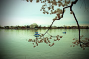 Tidal Basin Photos - Jeffersons Blossoms by Frank Garciarubio