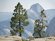 White Pine Posters - Jeffrey Pine And Whitebark Pine Trees Poster by Bob Gibbons