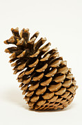 Pinus Prints - Jeffrey Pine Cone (pinus Jeffreyi) Print by Power And Syred