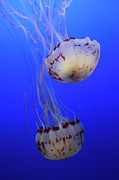 Ocean Creatures Metal Prints - Jellyfish 1 Metal Print by Bob Christopher