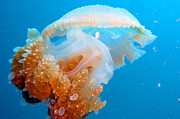 Jellyfish Photos - Jellyfish And Small Fish by Takau99