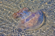 Topsail Island Photo Posters - Jellyfish Poster by East Coast Barrier Islands Betsy A Cutler