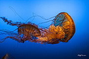 Jeff Swanson Metal Prints - Jellyfish Metal Print by Jeff Swanson
