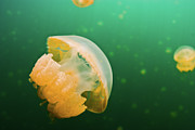 Animals Photos - Jellyfish Lake Palau by Wendy A. Capili