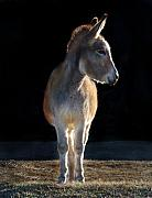 Donkey Photo Metal Prints - Jenny Metal Print by Terry Kirkland Cook
