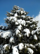Snow Covered Pine Trees Prints - Jersey Freeze Print by Colleen Kammerer