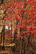 Yellow Leaves Prints - Jersey Red Print by John Rizzuto