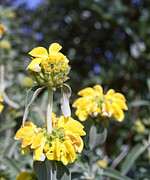 Pretty Wildflower Prints - Jerusalem sage in Crete Print by Paul Cowan