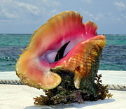 Seashell Photography Prints - Jewel of the Deep Print by Karen Wiles