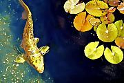 Koi Pond Metal Prints - Jewel of the Water Metal Print by Barb Pearson