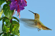 Fuschia Photo Prints - Jeweled Rufous in Afternoon Light Print by Laura Mountainspring