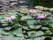 Waterlily Photos - Jewels Of The Pond by Robert Hooper