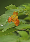 Impatiens Flowers Photos - Jewelweed_5331 by Michael Peychich