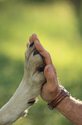 Canis Lupus Prints - Jim Dutcher Places His Hand To The Paw Print by Jim And Jamie Dutcher