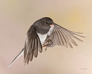 Songbirds In Flight Framed Prints - Jimmy Junco Framed Print by Gerry Sibell