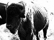 Bison Digital Art Framed Prints - Join the party Framed Print by Amanda Barcon