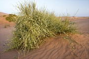 Moroccan Photos - Joint-pine (ephedra Major) by Bob Gibbons