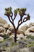 Monocotyledon Framed Prints - Joshua Tree Framed Print by Diccon Alexander