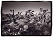 St. George Framed Prints - Joshua Tree Forest St George Utah Framed Print by Steve Gadomski