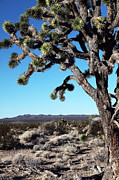 Old School Galleries Tapestries Textiles Acrylic Prints - Joshua Tree Acrylic Print by John Rizzuto