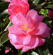 Camelia Posters - Joy in the Morning Poster by Diane Ferguson