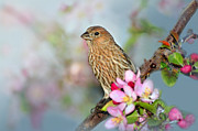 House Finch Prints - Joy of Spring Print by Betty LaRue