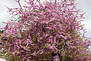 New Britain Framed Prints - Judas Tree (cercis Siliquastrum) Framed Print by Dr Keith Wheeler