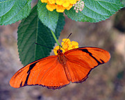 Julia Butterfly Acrylic Prints - Julia Butterfly - female Acrylic Print by April Wietrecki