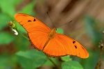 Insects Photo Originals - Julia Butterfly by Alan Lenk