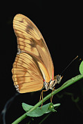 Julia Butterfly Acrylic Prints - Julia Butterfly Dryas Iulia Portrait Acrylic Print by Mark Moffett