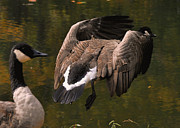 Nesting Photos - Jump Flight Canada Goose  - c6724f by Paul Lyndon Phillips
