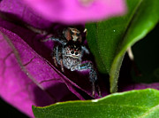 Jumping Spider Photos - Jumper by Donna Caplinger