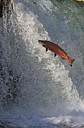 Chinook Salmon Prints - Jumping Chinook Salmon Print by Tim Grams