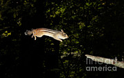 Eastern Chipmunk Photos - Jumping Chipmunk by Ted Kinsman