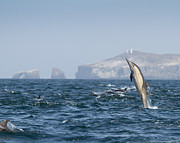 Dolphin Pyrography Framed Prints - Jumping Dolphin Anacapa Framed Print by Will Edwards