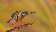Kingfisher Originals - Jumping Jewel by Basie Van Zyl