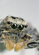 Frontal Metal Prints - Jumping Spider Maevia Sp Male Portrait Metal Print by Mark Moffett