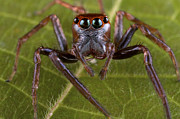 New Britain Framed Prints - Jumping Spider Papua New Guinea Framed Print by Piotr Naskrecki